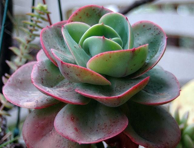 室内室外的良好盆花----石莲 2_图1-7
