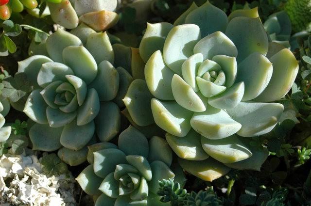 室内室外的良好盆花----石莲 2_图1-19