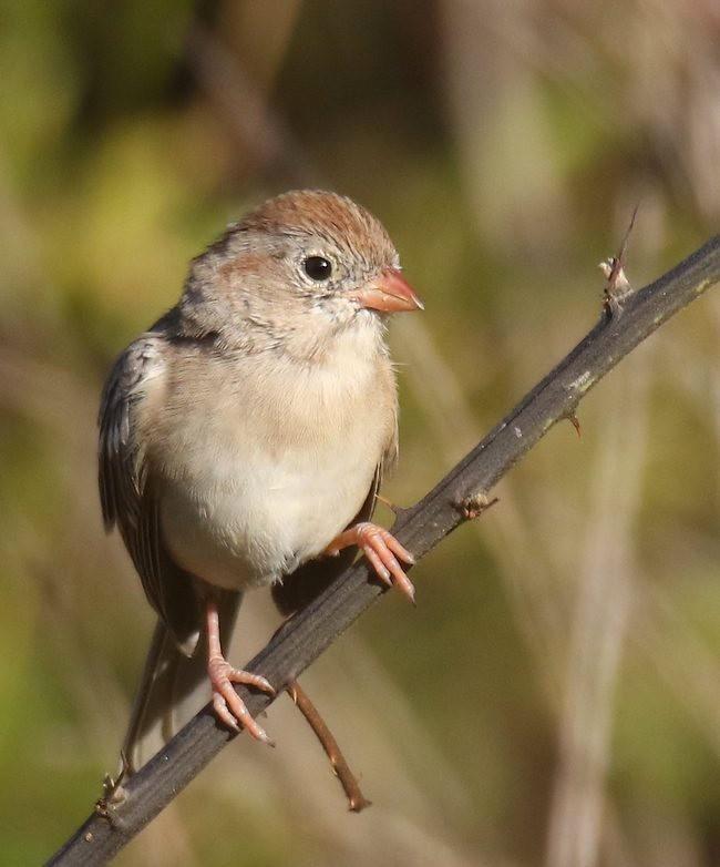 湿地小雀小鸟拍摄_图1-18