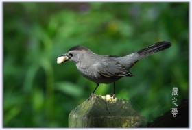 灰嘲鶇  (Gray catbirds)