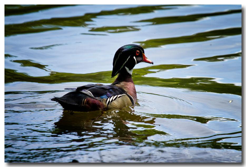 《酒一船摄影》:凯辛那公园的小木鸭(Wood Duck)_图1-1