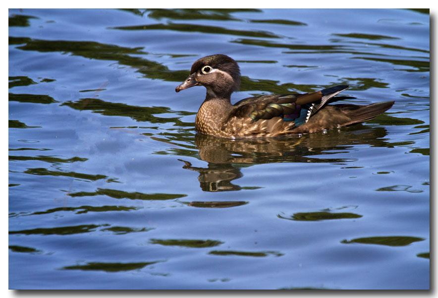 《酒一船摄影》:凯辛那公园的小木鸭(Wood Duck)_图1-3