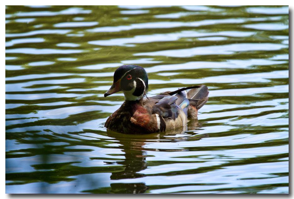 《酒一船摄影》:凯辛那公园的小木鸭(Wood Duck)_图1-2