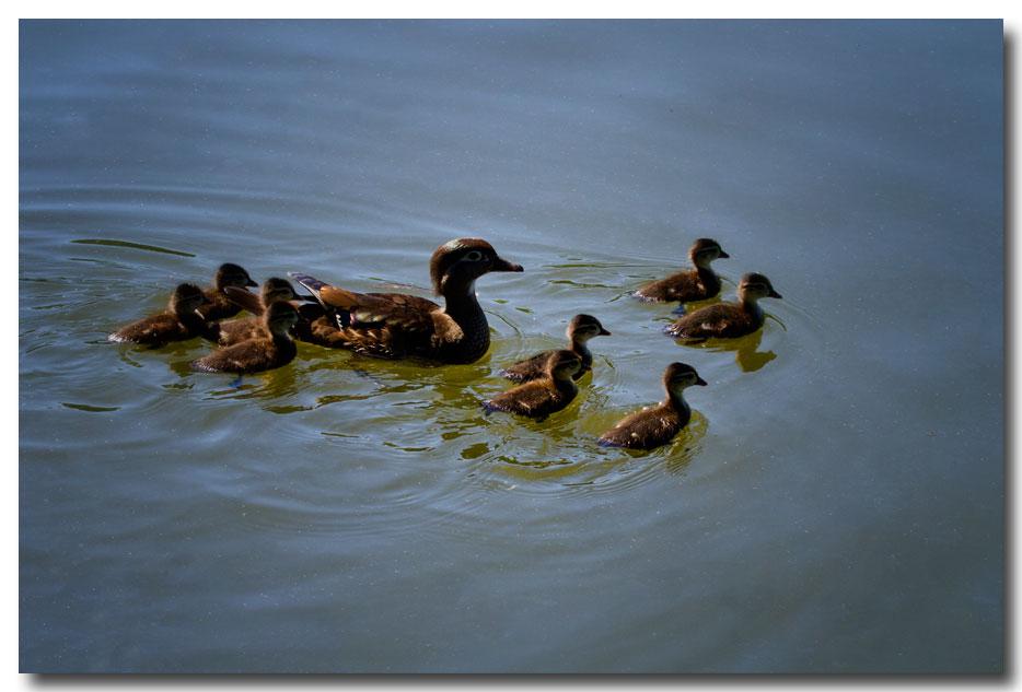 《酒一船摄影》:凯辛那公园的小木鸭(Wood Duck)_图1-5