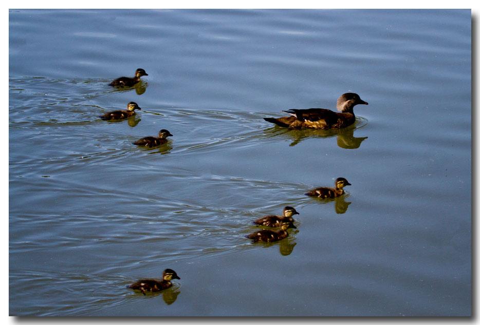《酒一船摄影》:凯辛那公园的小木鸭(Wood Duck)_图1-4
