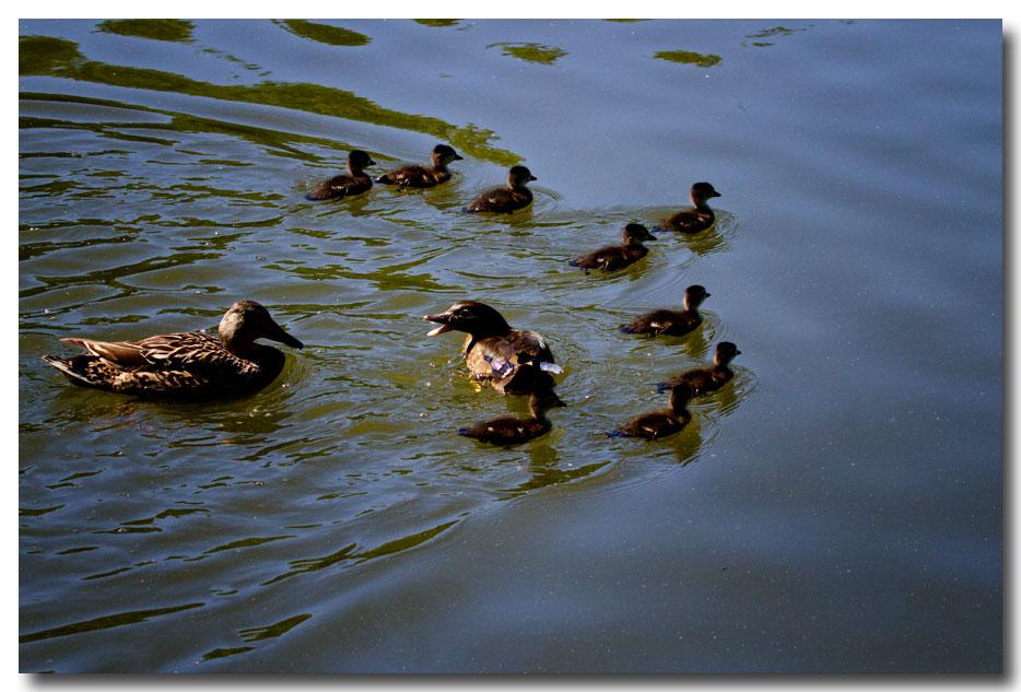 《酒一船摄影》:凯辛那公园的小木鸭(Wood Duck)_图1-6
