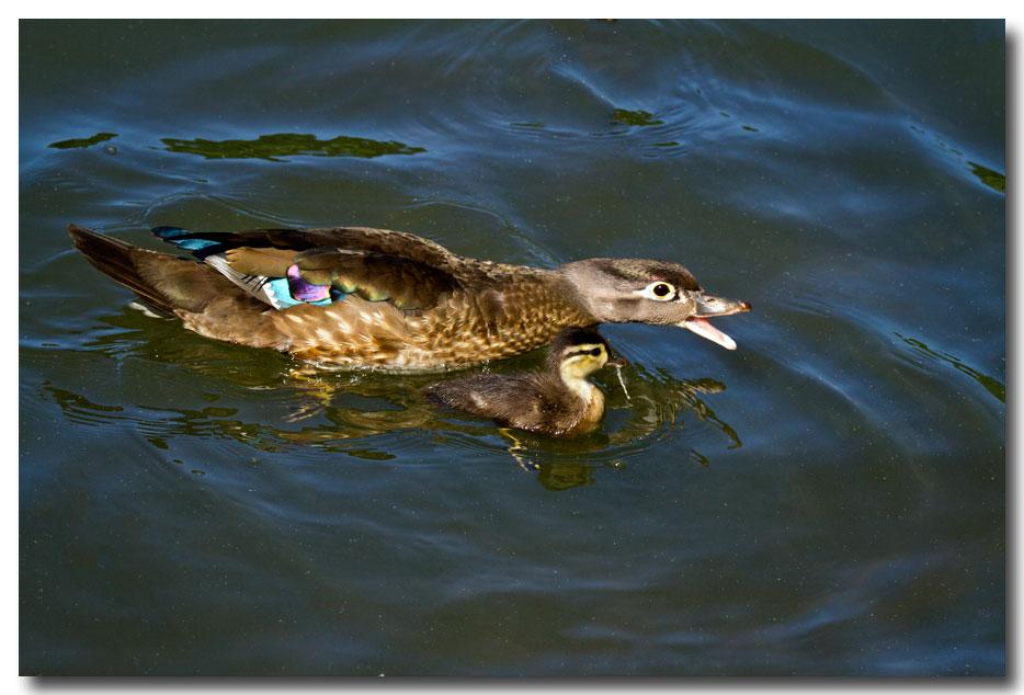 《酒一船摄影》:凯辛那公园的小木鸭(Wood Duck)_图1-7