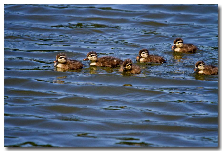 《酒一船摄影》:凯辛那公园的小木鸭(Wood Duck)_图1-8