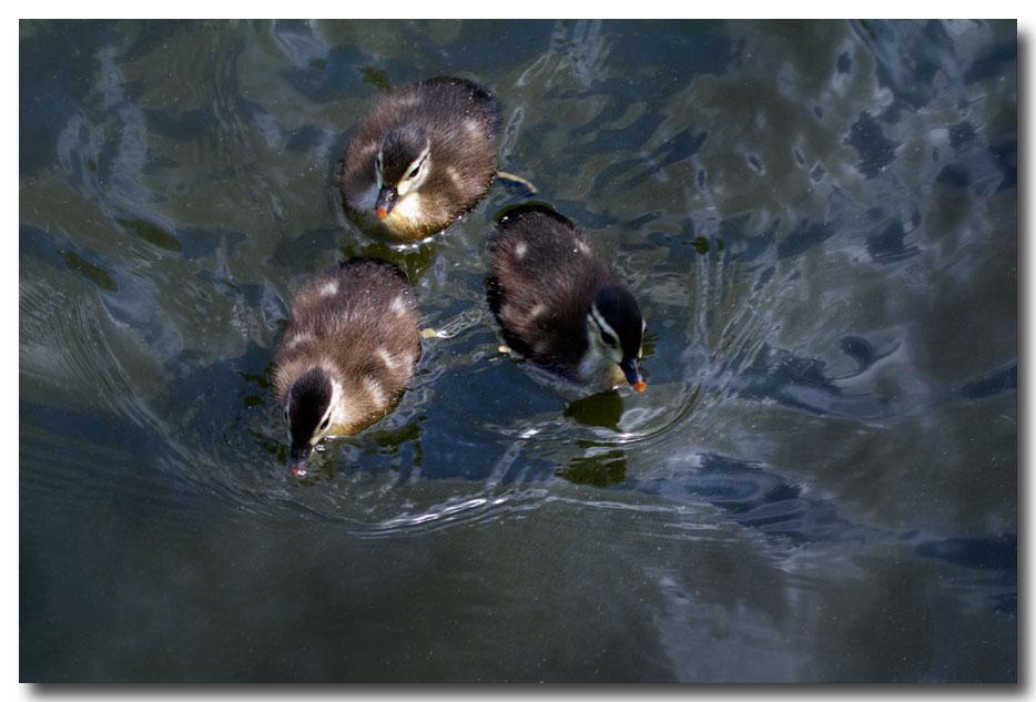 《酒一船摄影》:凯辛那公园的小木鸭(Wood Duck)_图1-10