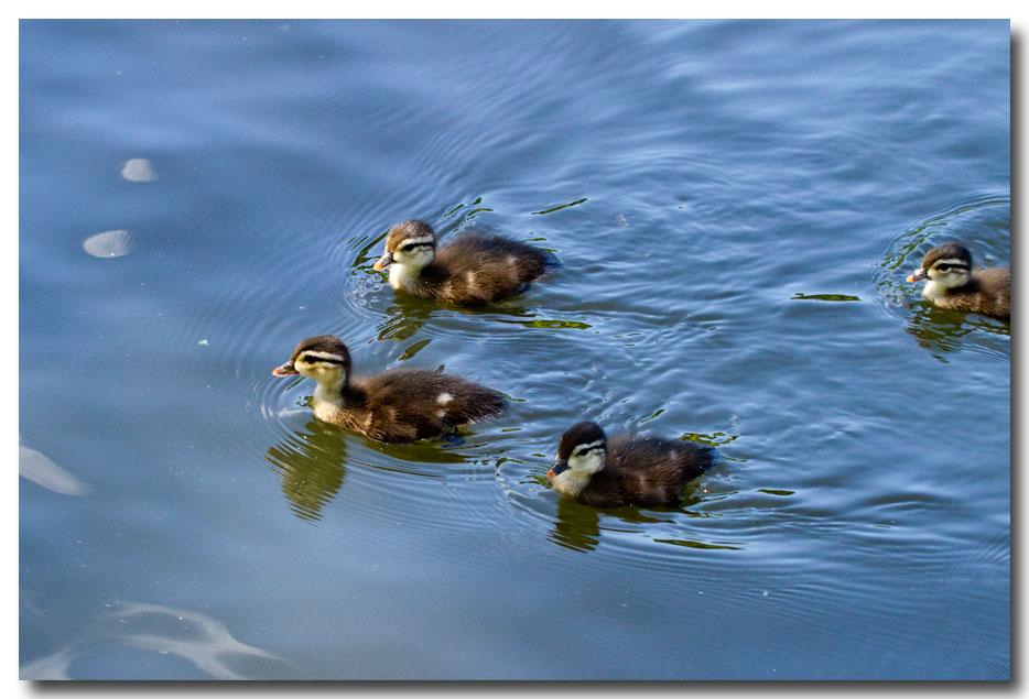 《酒一船摄影》:凯辛那公园的小木鸭(Wood Duck)_图1-9
