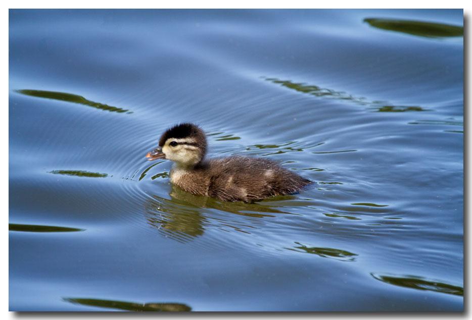 《酒一船摄影》:凯辛那公园的小木鸭(Wood Duck)_图1-12