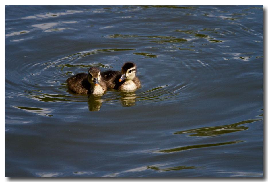 《酒一船摄影》:凯辛那公园的小木鸭(Wood Duck)_图1-11