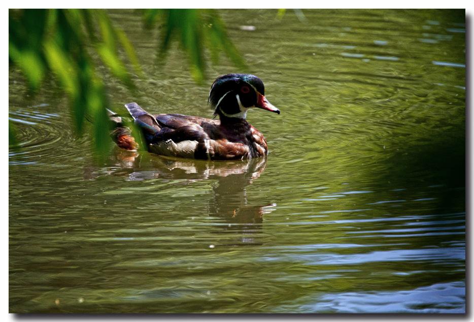 《酒一船摄影》:凯辛那公园的小木鸭(Wood Duck)_图1-13