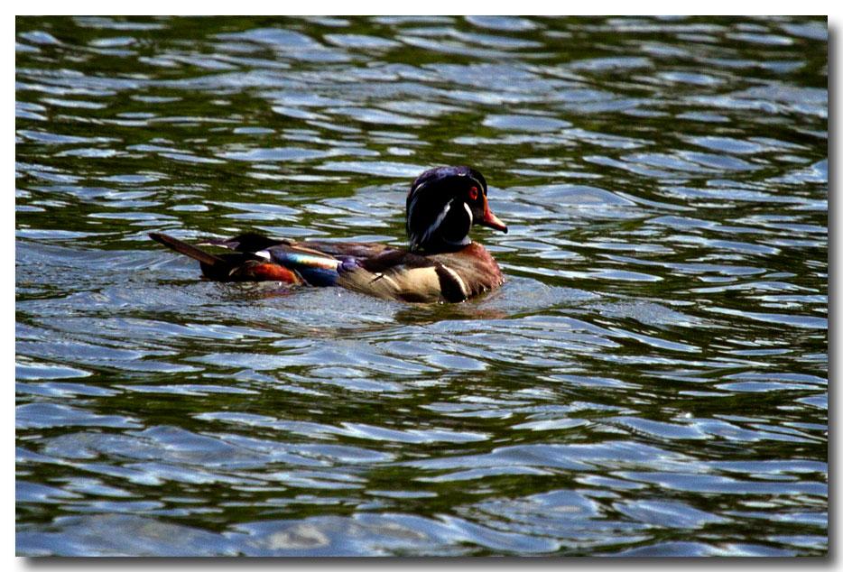《酒一船摄影》:凯辛那公园的小木鸭(Wood Duck)_图1-15