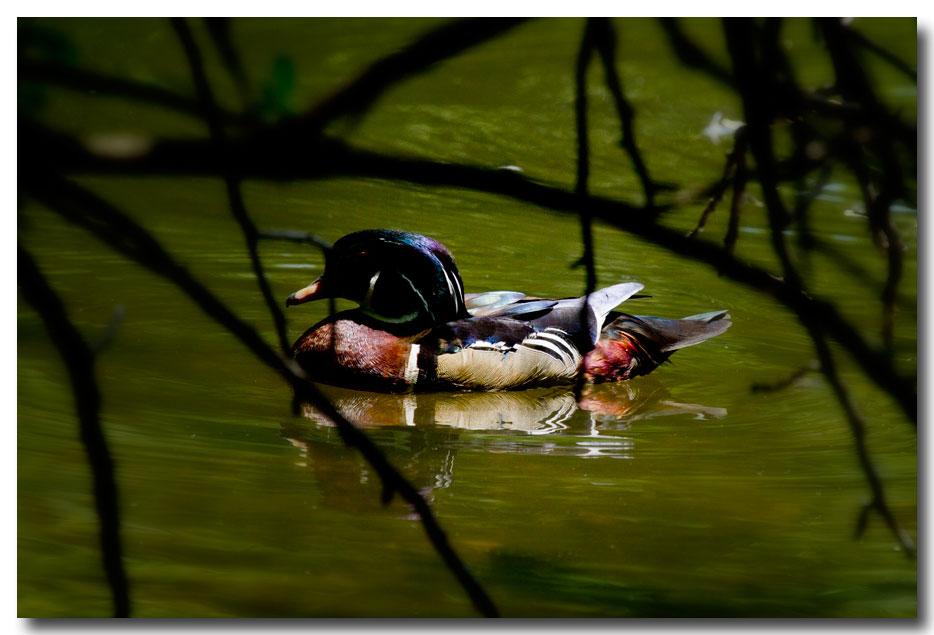 《酒一船摄影》:凯辛那公园的小木鸭(Wood Duck)_图1-14
