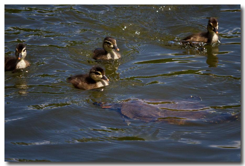 《酒一船摄影》:凯辛那公园的小木鸭(Wood Duck)_图1-16
