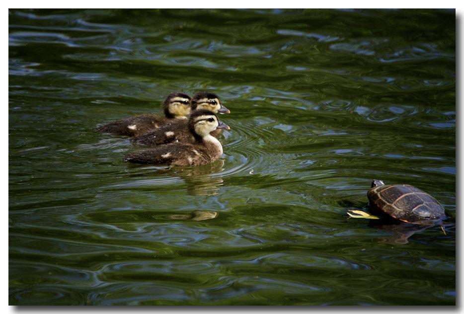 《酒一船摄影》:凯辛那公园的小木鸭(Wood Duck)_图1-17