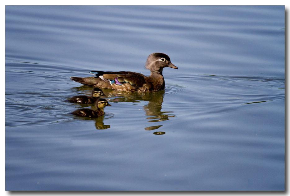 《酒一船摄影》:凯辛那公园的小木鸭(Wood Duck)_图1-18