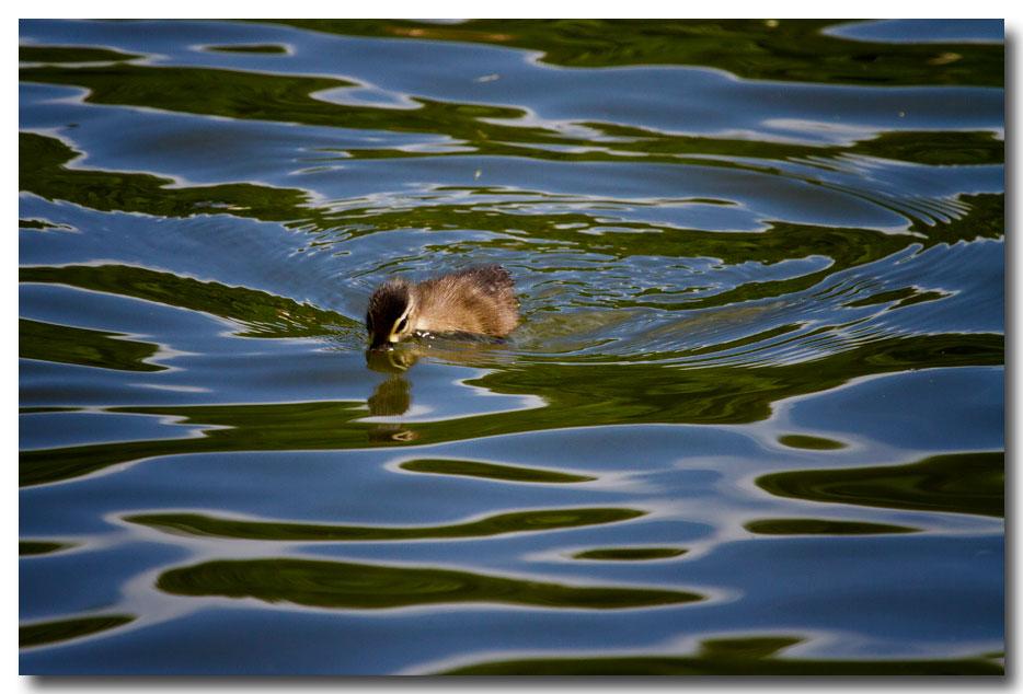 《酒一船摄影》:凯辛那公园的小木鸭(Wood Duck)_图1-19