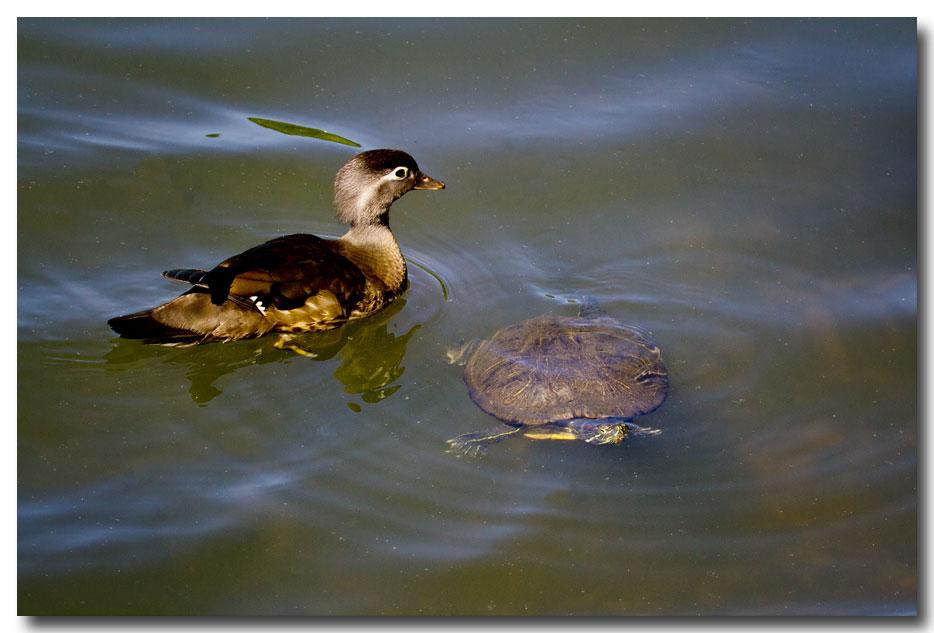 《酒一船摄影》:凯辛那公园的小木鸭(Wood Duck)_图1-20