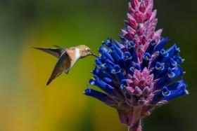 亨庭顿公园拍蜂鸟