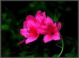 杜鹃花--又名映山红