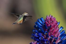 再约小蜂鸟