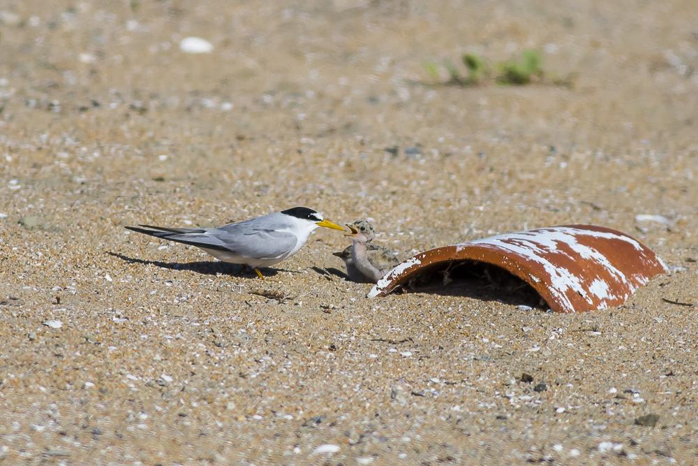 看到小小燕鸥了_图1-2