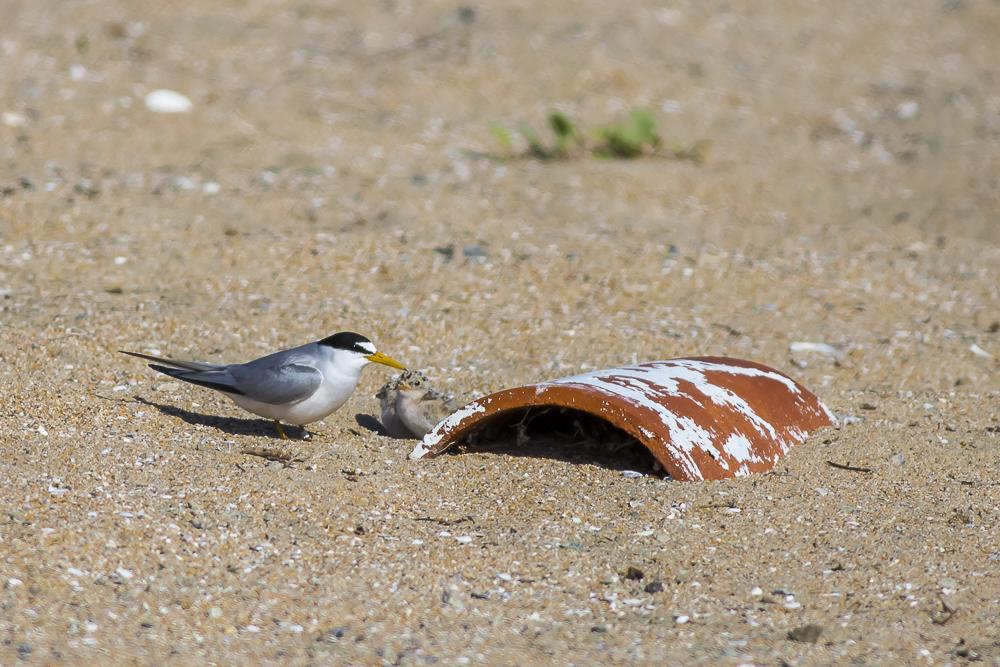 看到小小燕鸥了_图1-3