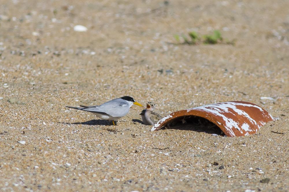 看到小小燕鸥了_图1-4