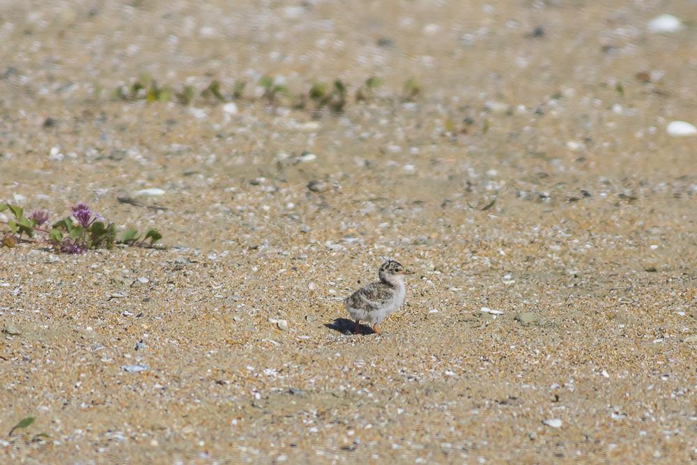 看到小小燕鸥了_图1-6
