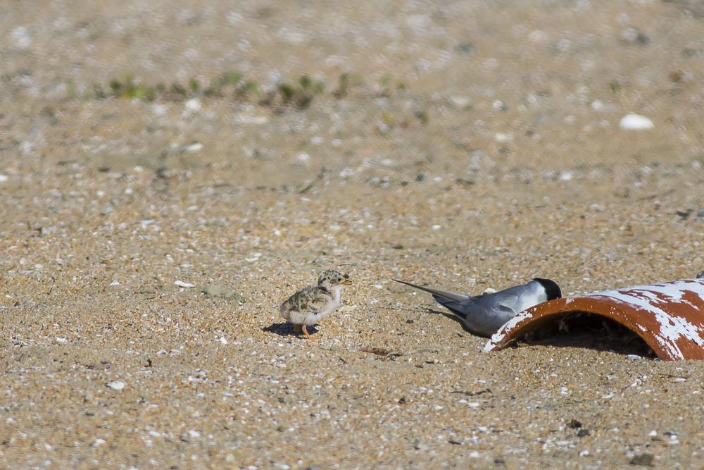 看到小小燕鸥了_图1-8