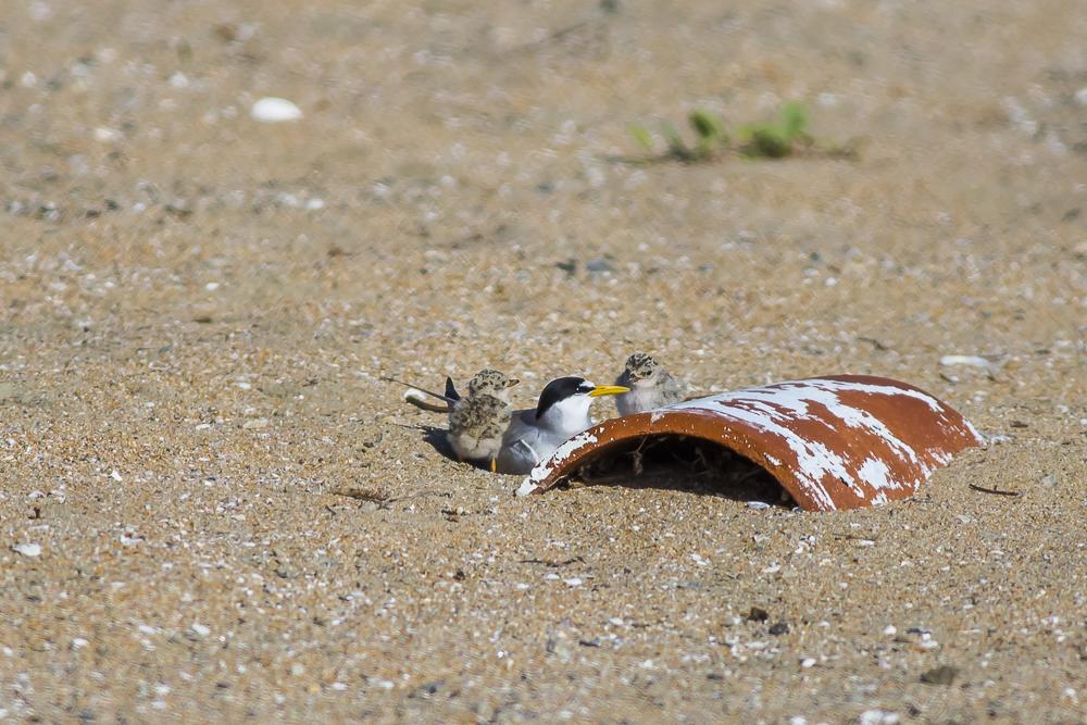看到小小燕鸥了_图1-10