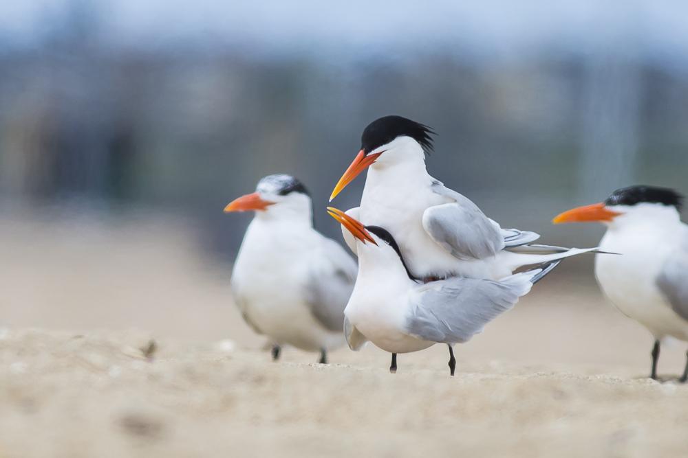 亨庭顿海边拍到燕鸥交配的精彩一刻!_图1-1