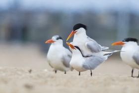 亨庭顿海边拍到燕鸥交配的精彩一刻!