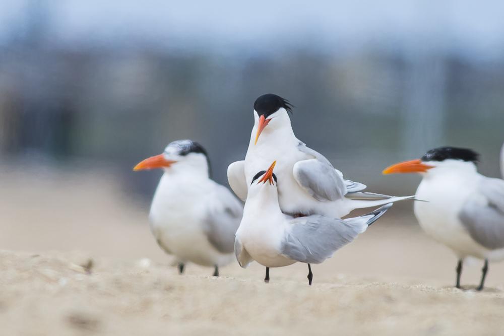 亨庭顿海边拍到燕鸥交配的精彩一刻!_图1-2