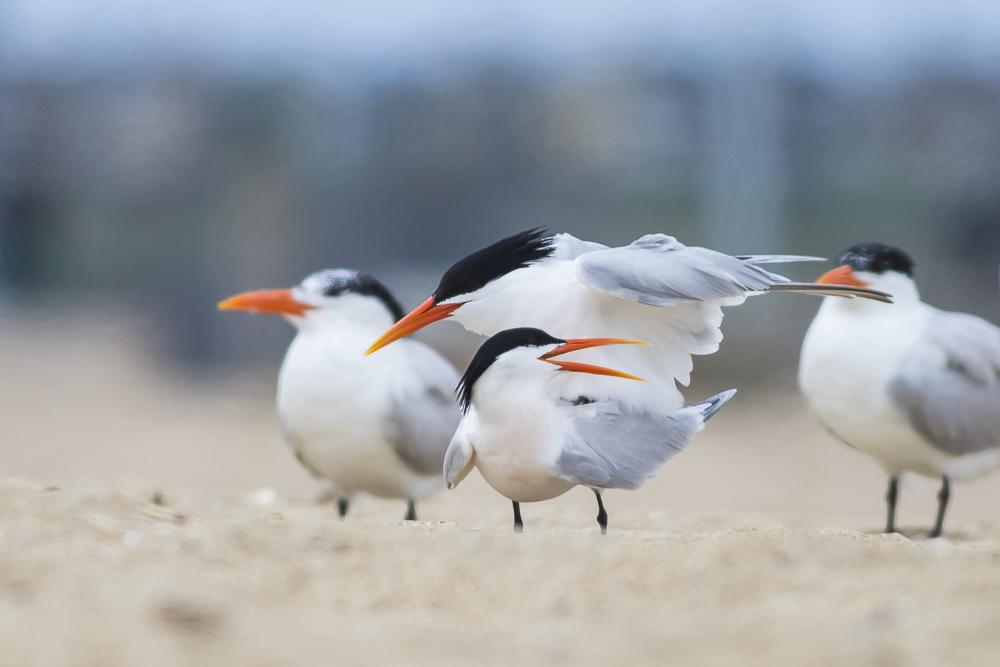 亨庭顿海边拍到燕鸥交配的精彩一刻!_图1-3