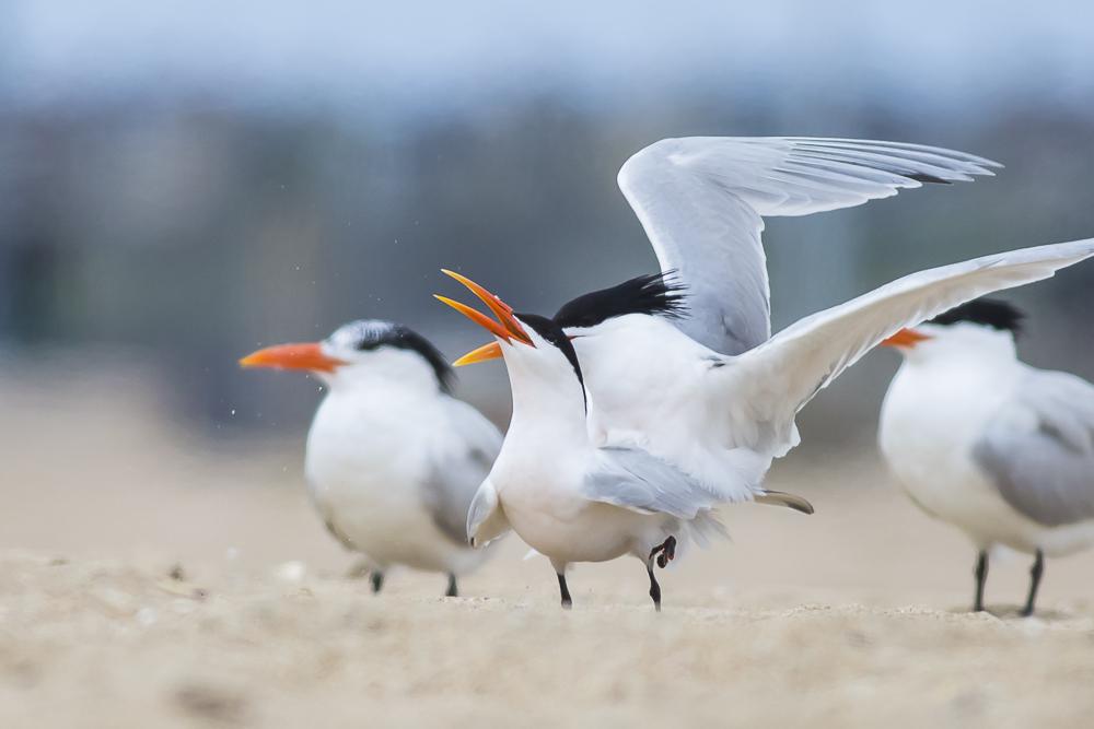 亨庭顿海边拍到燕鸥交配的精彩一刻!_图1-4