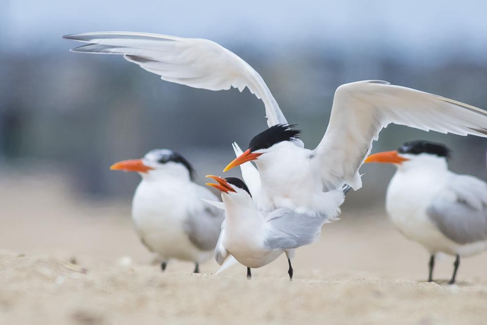 亨庭顿海边拍到燕鸥交配的精彩一刻!_图1-5