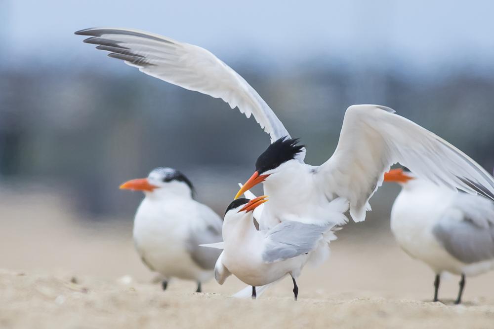 亨庭顿海边拍到燕鸥交配的精彩一刻!_图1-6
