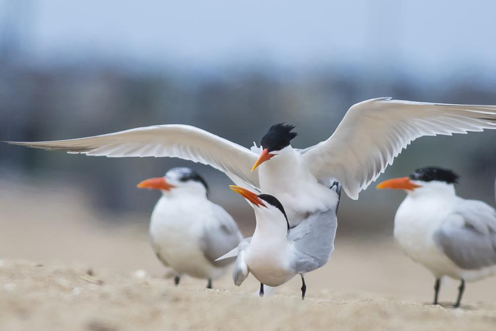 亨庭顿海边拍到燕鸥交配的精彩一刻!_图1-7