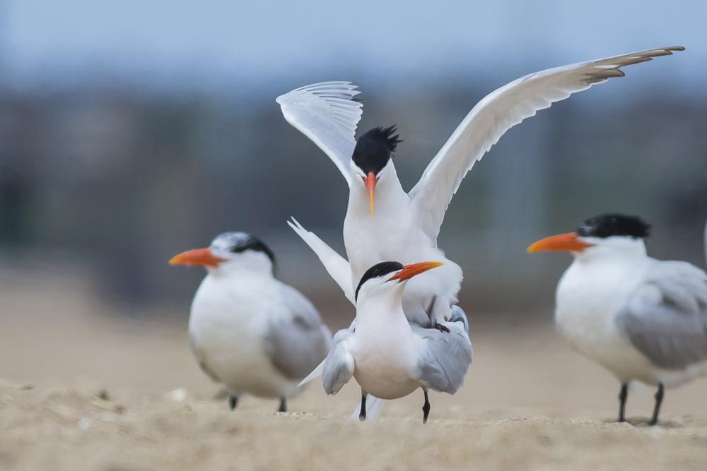 亨庭顿海边拍到燕鸥交配的精彩一刻!_图1-8
