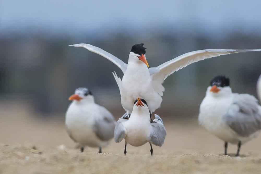 亨庭顿海边拍到燕鸥交配的精彩一刻!_图1-9