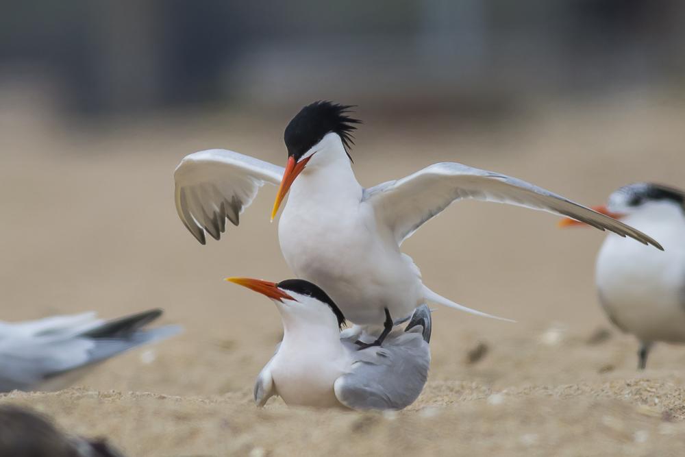 亨庭顿海边拍到燕鸥交配的精彩一刻!_图1-10