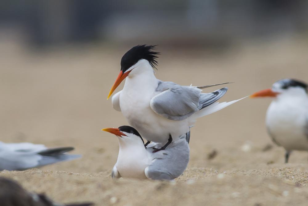 亨庭顿海边拍到燕鸥交配的精彩一刻!_图1-11