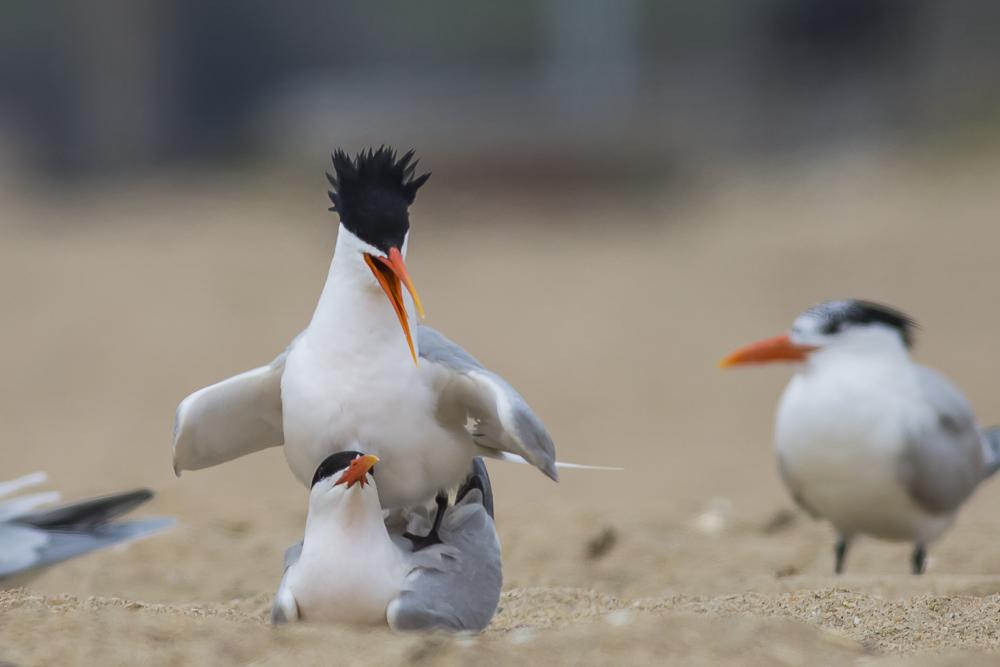 亨庭顿海边拍到燕鸥交配的精彩一刻!_图1-12