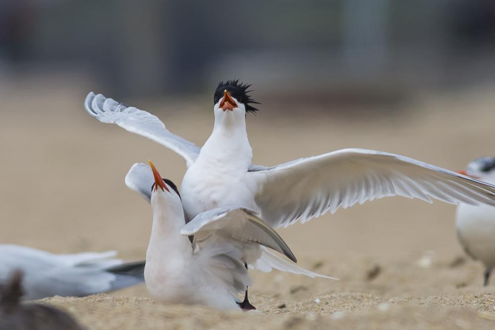 亨庭顿海边拍到燕鸥交配的精彩一刻!_图1-13