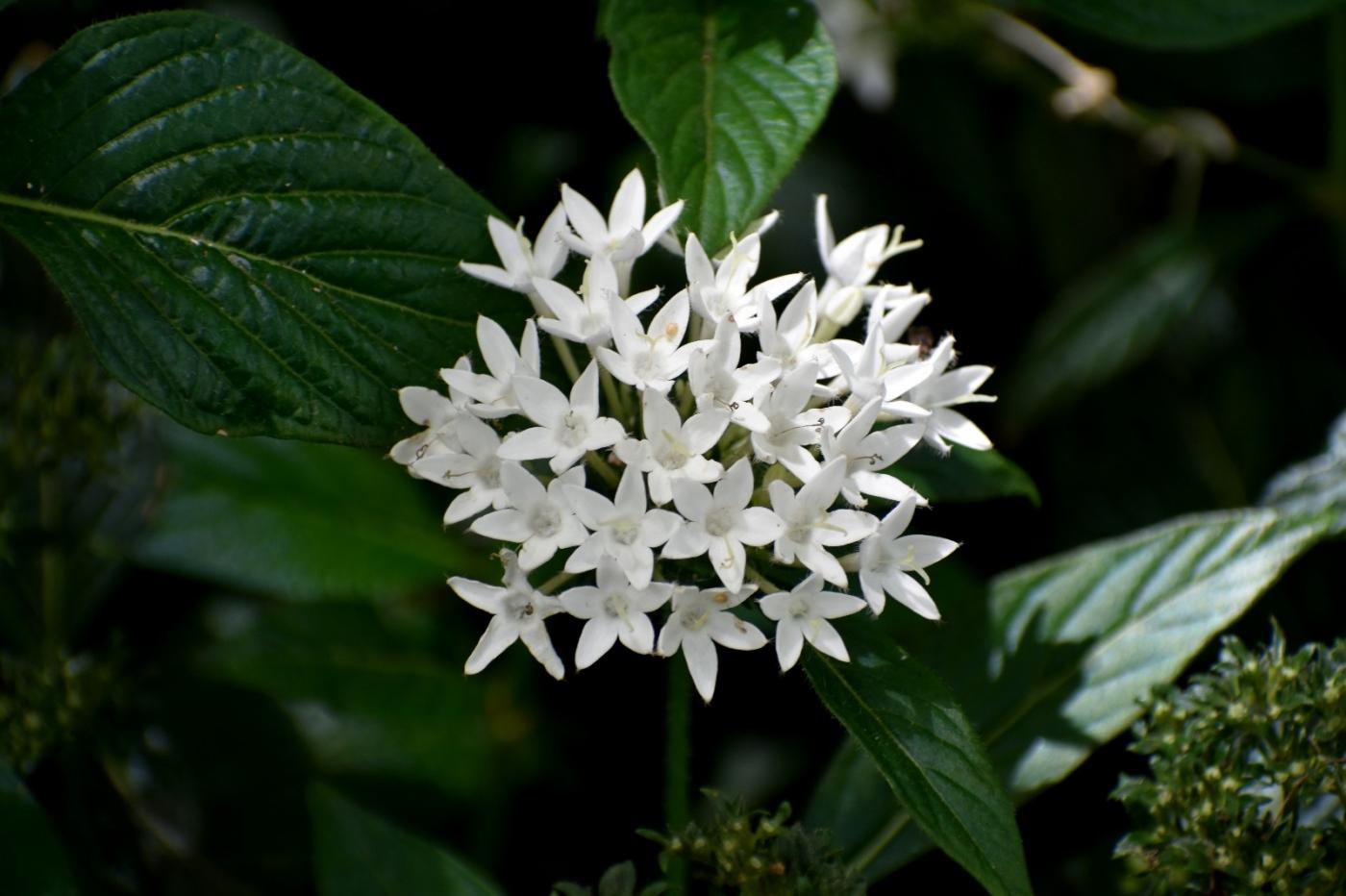 白花繁星花_图1-3