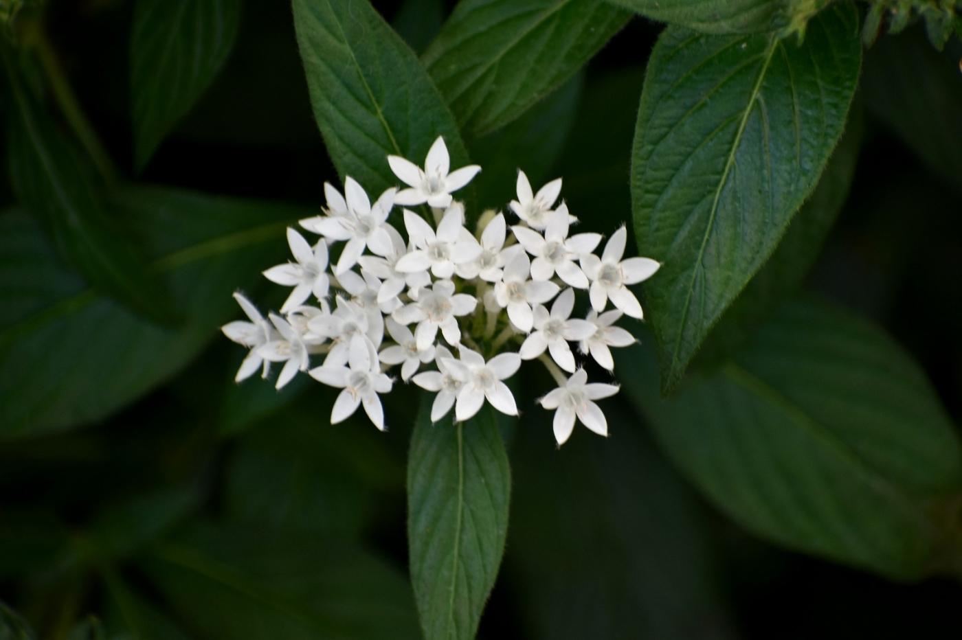 白花繁星花_图1-4