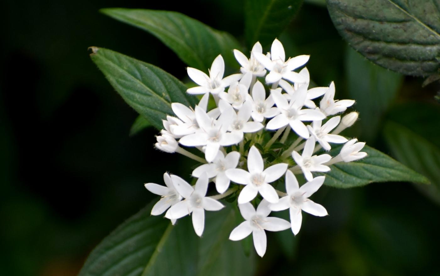 白花繁星花_图1-5